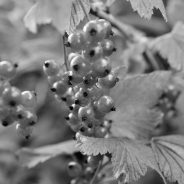 Плодните храсти в озеленяването